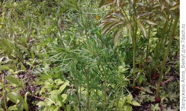 17. это растение с тонкими листочками непонятно мне