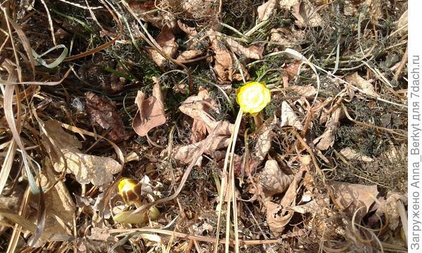 Первоцветы Приморья