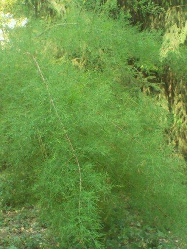 По виду напоминает заячий холодок, только не травянистый, а как деревце