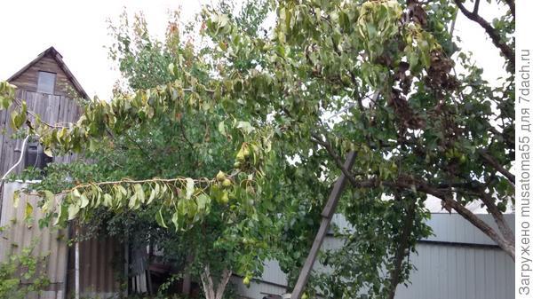 Внаших садах пропадают деревья-груши,черешни,айвы. На некоторых деревьях сохнут концы веток вместе с плодами, на других-целые ветви, у третьих вянет и теряет цвет вся крона. Внешне нет никаких сильных изменений ни в листве, ни в структуре ветвей или кры, но деревья гибнут прямо на глазах. Может, у кого есть мысли, что это за напасть и как с этим бороться? Буду благодарна за любую информацию.