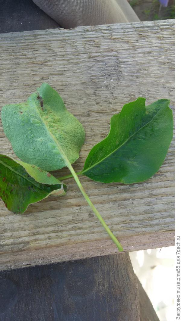 Вот такие странные образования на листьях, появились и почернения в некоторых местах. Вот такая непонятка.