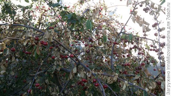 почему листочки засохли у вишни,а плоди ничем не повреждены.