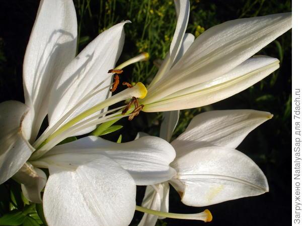 вот такая была белая лилия