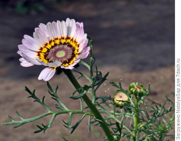 хризантема килеватая