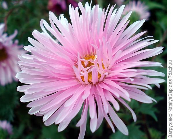 розовая астра
