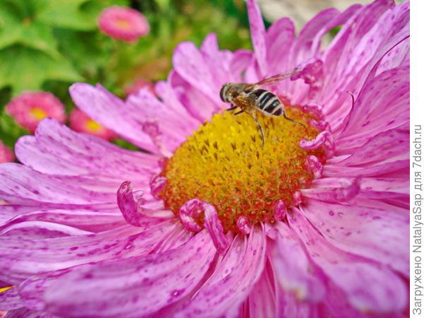 пчёлка на астре