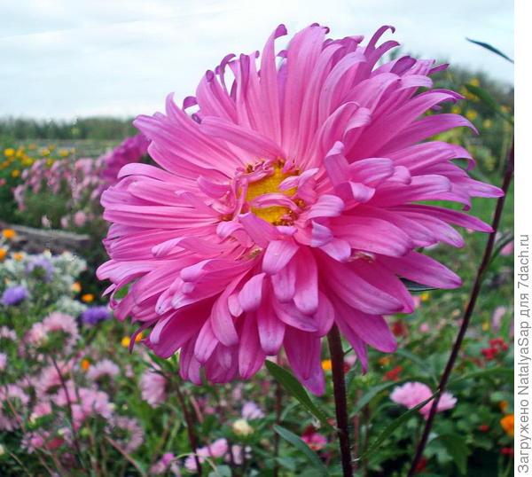 розовая красавица астра
