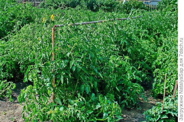 подвязка помидорных кустов