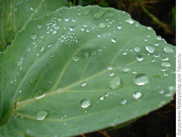 Молодой капустный лист, не повреждённый блошкой