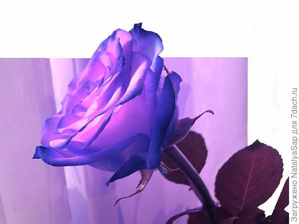 Фантазия для розы