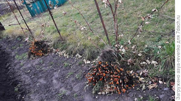 укрытие корней  на зиму