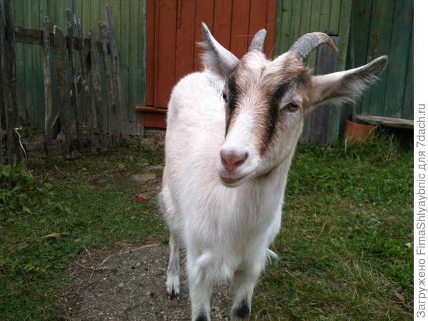 Белка, очень продуктивная коза
