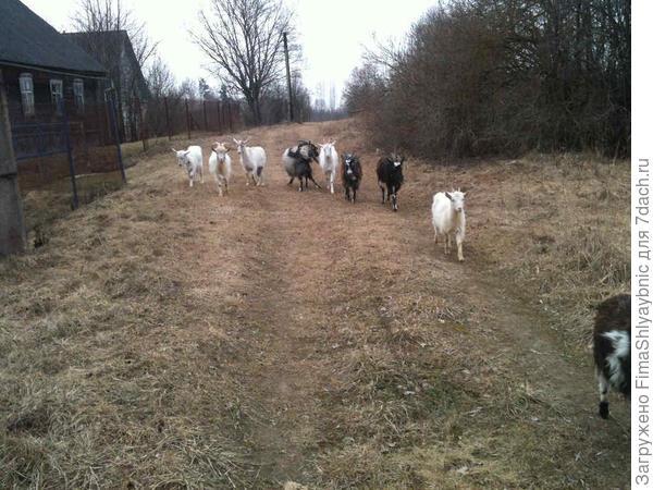 Деревня Вярьмово и козы