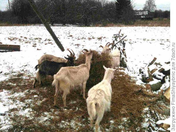 Зимнее кормление коз