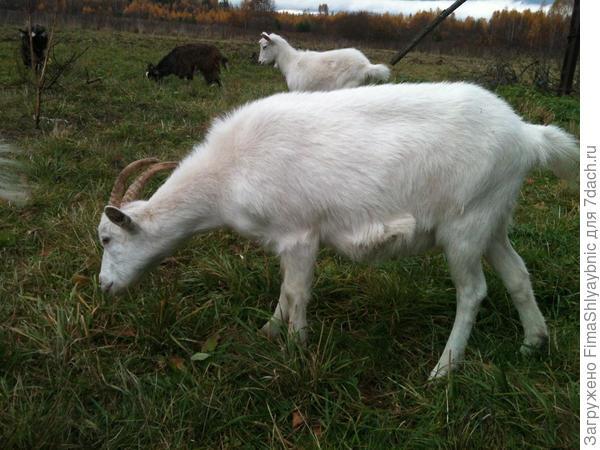 Коза Маруся, самая сильная и мощная коза