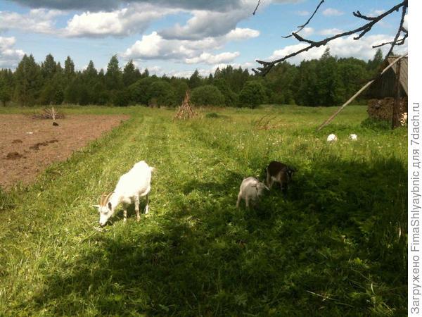 Счастливые козы