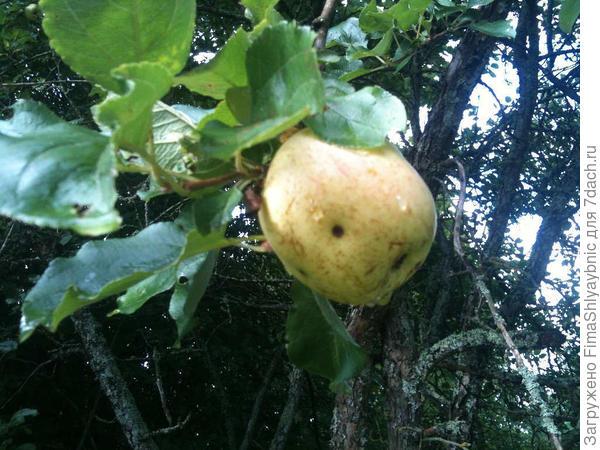 Сладкое яблоко