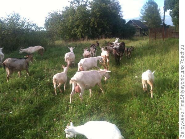 Козы в деревне Вярьмово