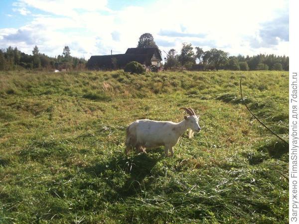 Двенадцатая и мотоблок с полной тележкой скошенной травы для подстилки козам