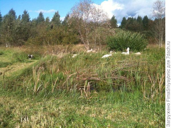Пруд, возле которого и растет жесткая болотная трава