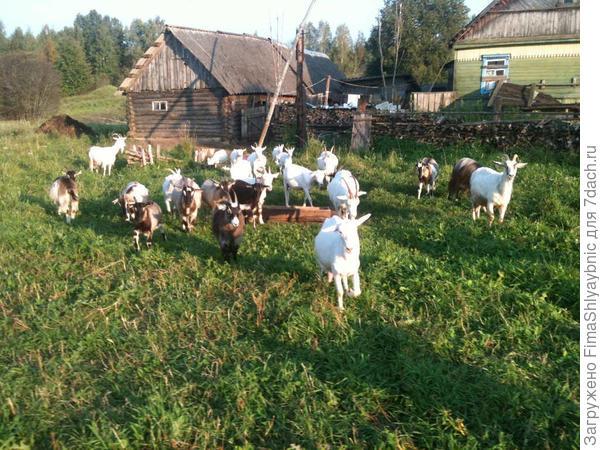 Козы, обычные Вярьмовские козы