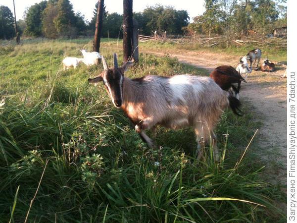 Осенние козы в моей деревне