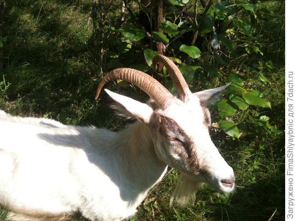 Белка осталась без козленка. Советовал ей вчера рожать побольше козлят, что бы хватило на всех жаждущих кормить и вылизывать.