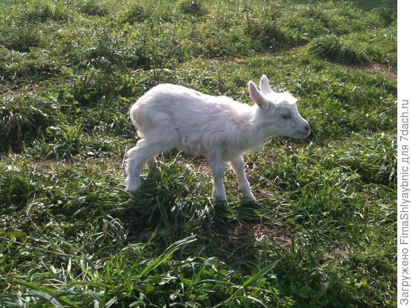 Принцесса - козочка родившаяся 13 сентября