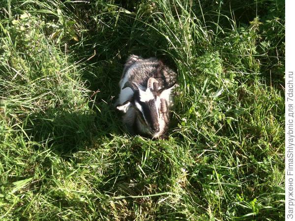 Козлик Чахо лежит на пастбище. Может устал, а может и болен.