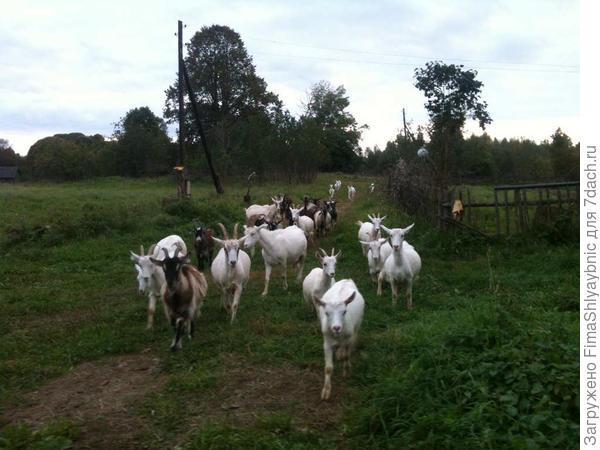 Вечер и бегущие козы
