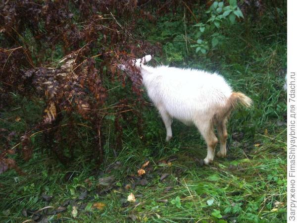 Дикая малина и коза