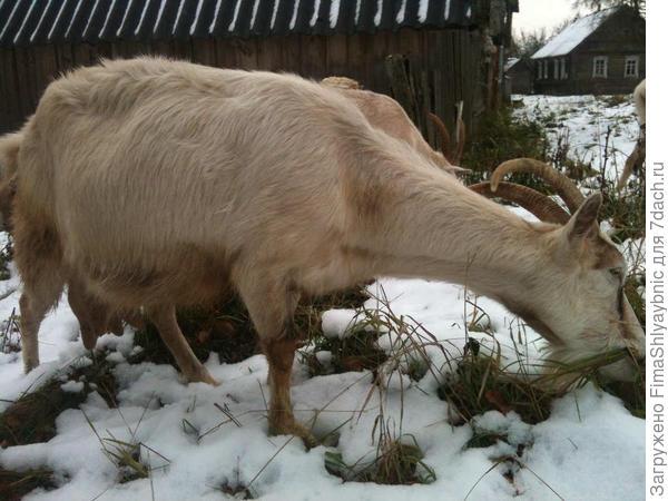 Белка ест траву из под октябрьского снега