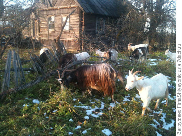 Даша и еще козы.
