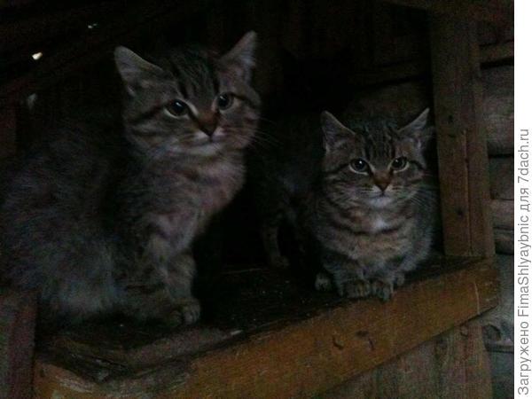 Любители козьего сливочного масла бедненькие пищащие голодные котятки