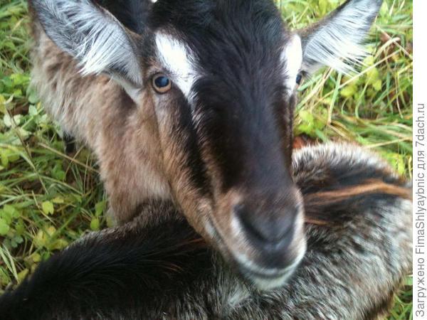 Беспородный козел из деревни Вярьмово