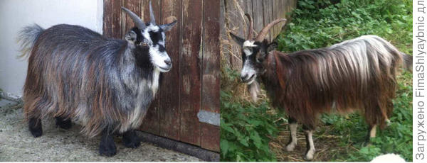 Слева коза породы камерунский пигмей, а справа Дашка- русская дворняжка.