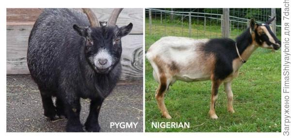 Камерунский пигмей и Нигерийский карлик