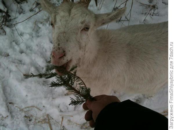 Маруська ест елку зимой 2014/15 года