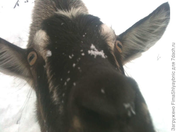 Коза Бендера жаждет овса, яблок и лета