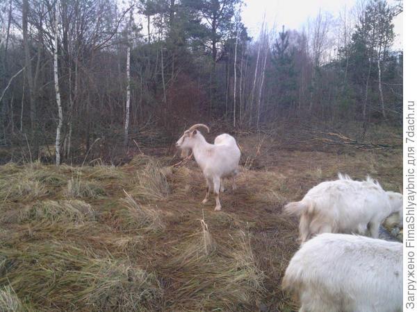 Белка тоже пахнет козой, ведь она коза