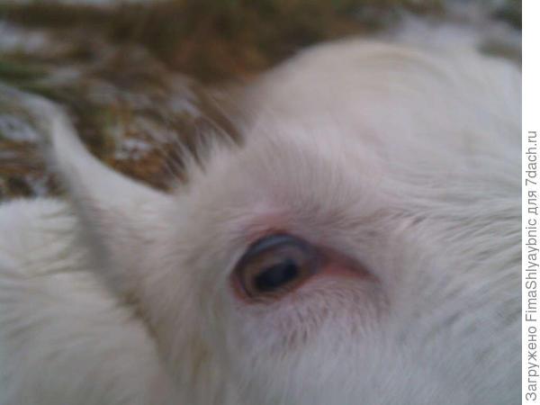 Глаз козочки