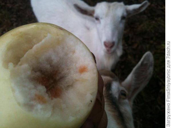 Яблоко в конце ноября с ветки