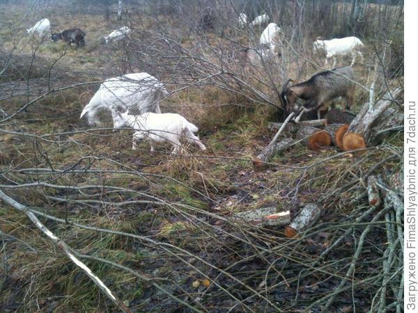 Осенний выгул коз