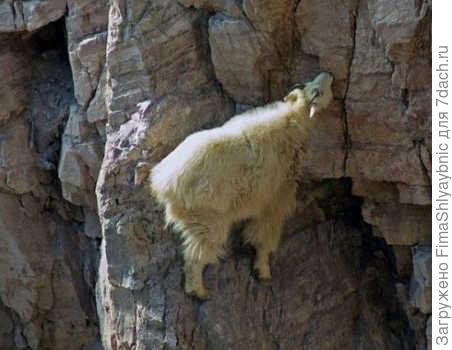 Снежная коза пасется на лугу. Такой вот лужок у них. фото с сайта http://trinixy.ru/