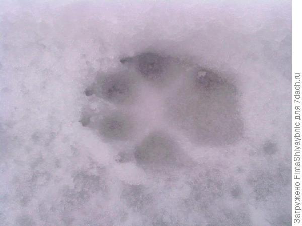 Собачьи следы вокруг кругом и все в них