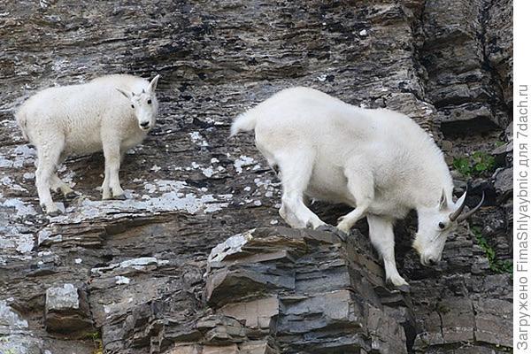 Идут лизать соль. фото с сайта http://www.backcountrytaxidermy.com/