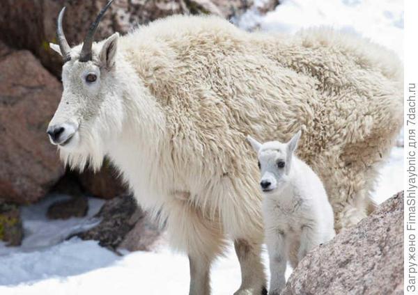 Снежные козы и снег. фото с сайта http://goeddelphotography.com/