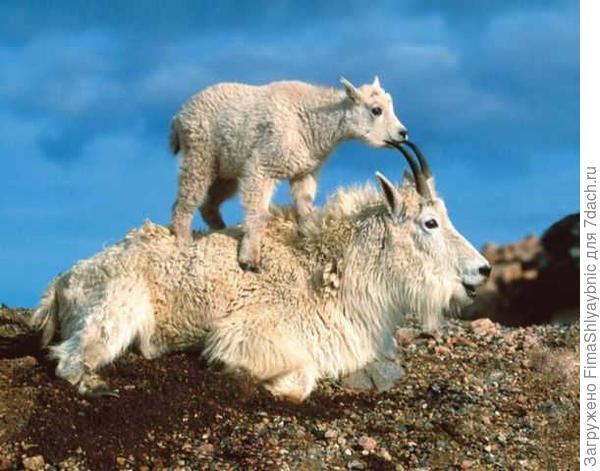 Снежные козы: коза и козленок. фото с сайта http://2.bp.blogspot.com/