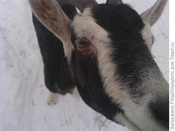 Тоня- коза