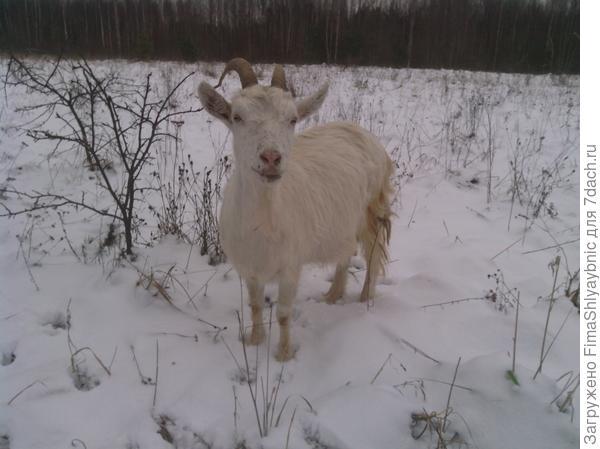 Коза и снег